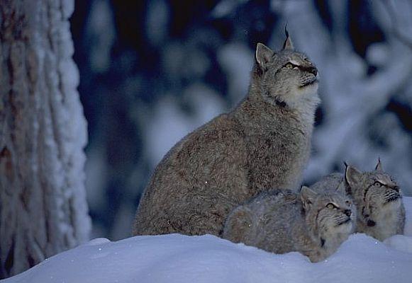hvorfor skal vi ikke ha ulv i norge